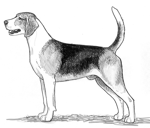 UKC Breed Standards: English Foxhound