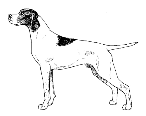 UKC Breed Standards: English Pointer
