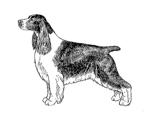 Breed Standards English Springer Spaniel United Kennel Club Ukc