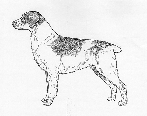 Breed Standards Epagneul Breton