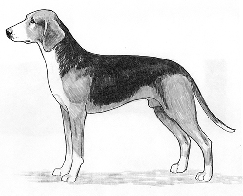 UKC Breed Standards: Finnish Hound