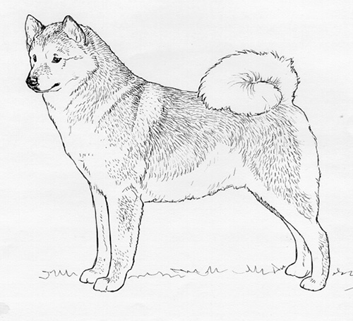 UKC Breed Standards: Finnish Spitz