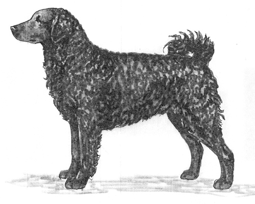 UKC Breed Standards: Frisian Water Dog