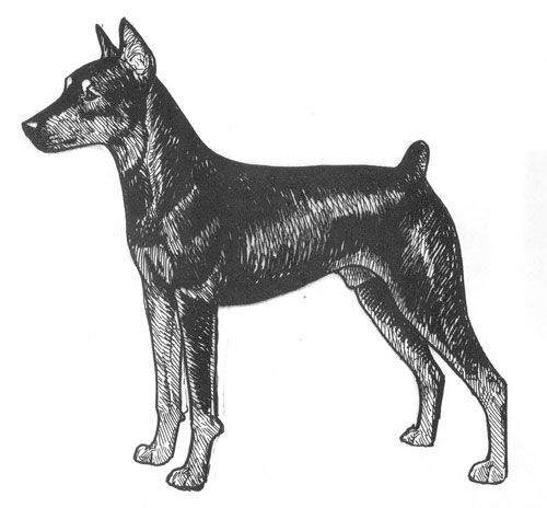 UKC Breed Standards: German Pinscher