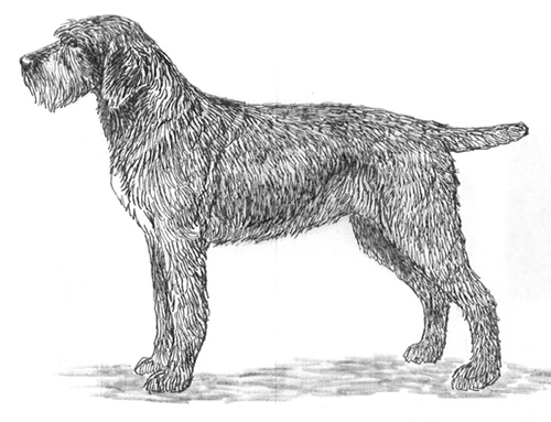 UKC Breed Standards: German Rough Haired Pointer