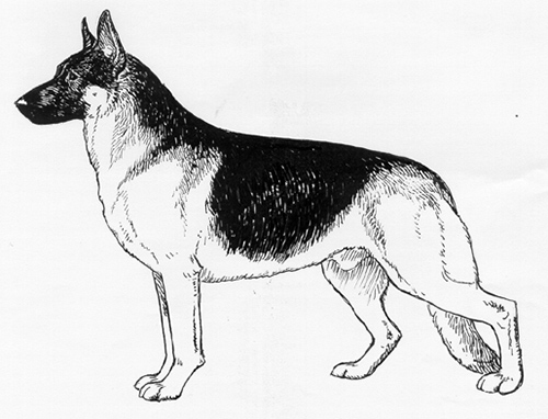 UKC Breed Standards: German Shepherd