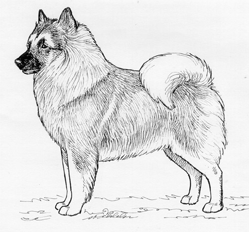 UKC Breed Standards: German Spitz