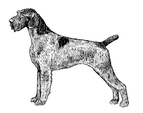 UKC Breed Standards: German Wire Haired Pointer
