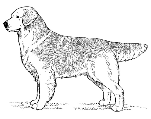 UKC Breed Standards: Golden Retriever