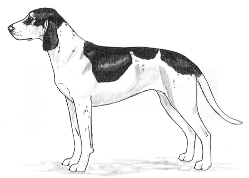 UKC Breed Standards: Grand Gascon-Saintongeois