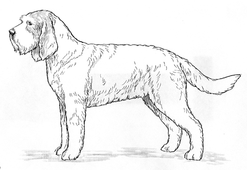 UKC Breed Standards: Grand Griffon Vendeen