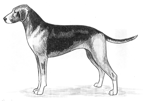 UKC Breed Standards: Hamiltonstovare (Hamilton Hound)