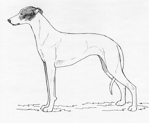 UKC Breed Standards: Hungarian Greyhound