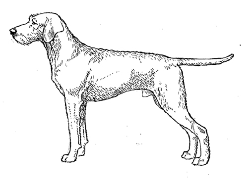 UKC Breed Standards: Hungarian Wire-Haired Vizsla