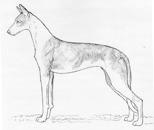 UKC Breed Standards: Ibizan Hound