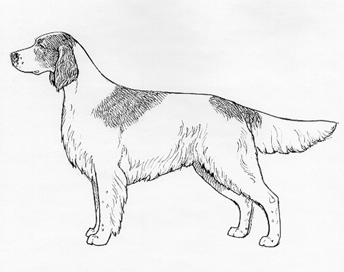 UKC Breed Standards: Irish Red and White Setter