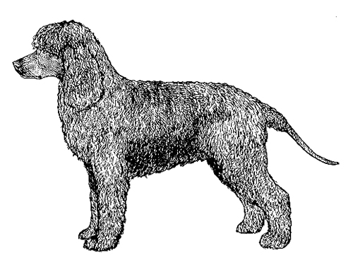 UKC Breed Standards: Irish Water Spaniel