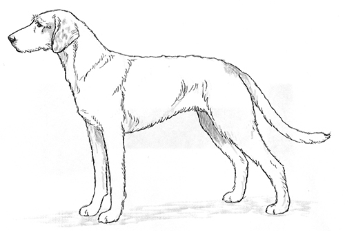 UKC Breed Standards: Istrian Coarse-Haired Hound
