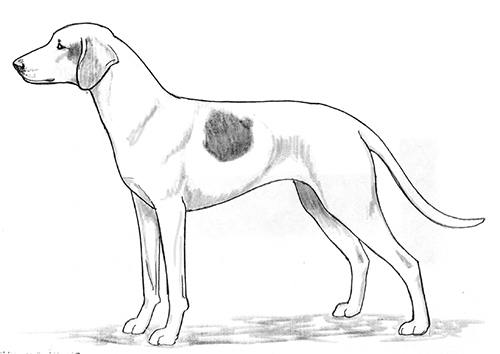 UKC Breed Standards: Istrian Short-Haired Hound
