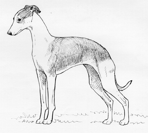 UKC Breed Standards: Italian Greyhound