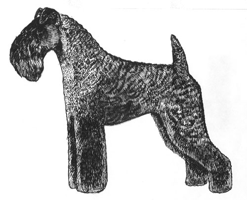 UKC Breed Standards: Kerry Blue Terrier