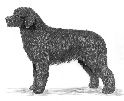 breed standards lagotto romagnolo united kennel club ukc