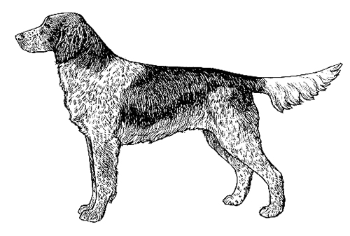 UKC Breed Standards: Large Munsterlander