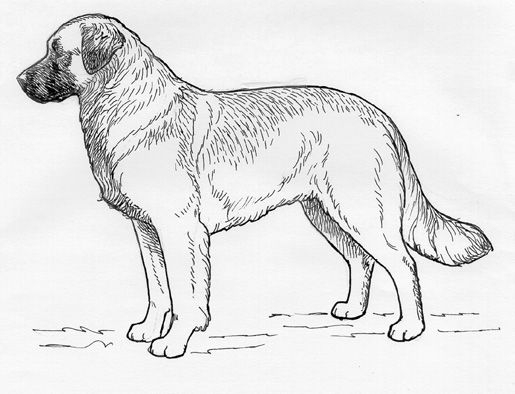 UKC Breed Standards: Leonberger