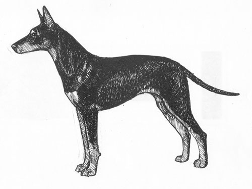 UKC Breed Standards: Manchester Terrier