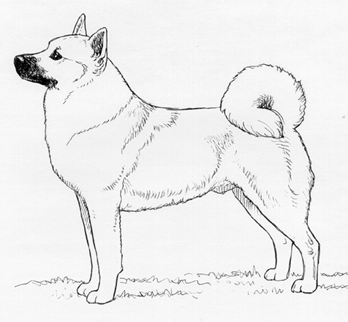 Breed Standards Norwegian Buhund United Kennel Club Ukc