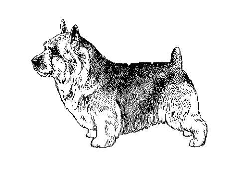 UKC Breed Standards: Norwich Terrier