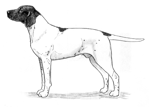 UKC Breed Standards: Old Danish Pointing Dog