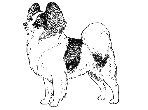 UKC Breed Standards: Papillon