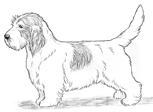 UKC Breed Standards: Petit Basset Griffon Vendeen