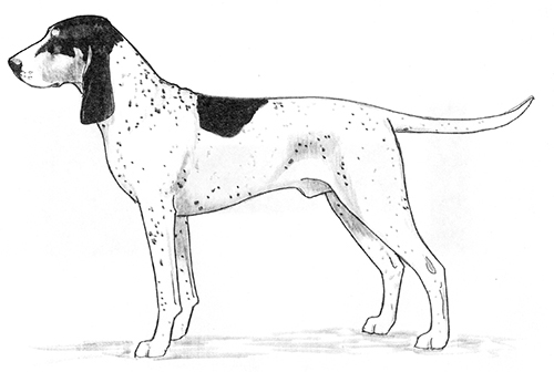 UKC Breed Standards: Petit Gascon-Saintongeois