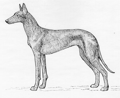UKC Breed Standards: Pharaoh Hound