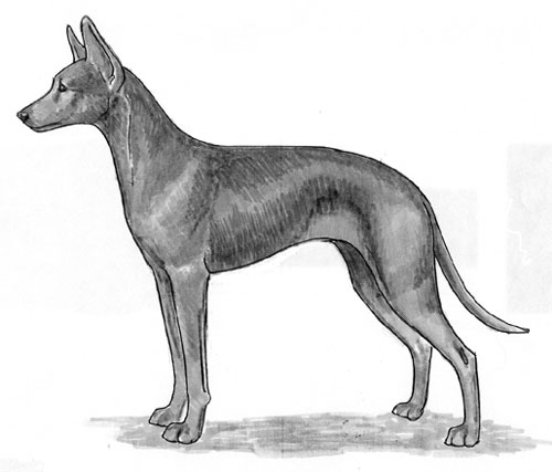 UKC Breed Standards: Podenco Canario