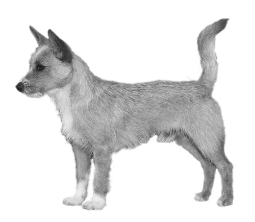 UKC Breed Standards: Portuguese Podengo Pequeno