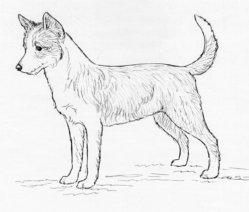 UKC Breed Standards: Portuguese Podengo