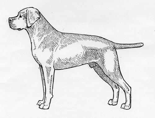 UKC Breed Standards: Portuguese Pointer