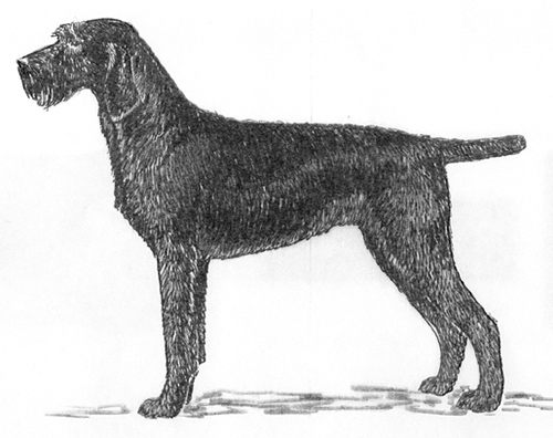 UKC Breed Standards: Pudelpointer
