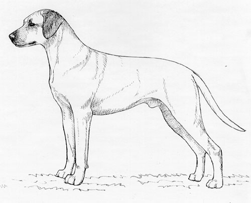 UKC Breed Standards: Rhodesian Ridgeback