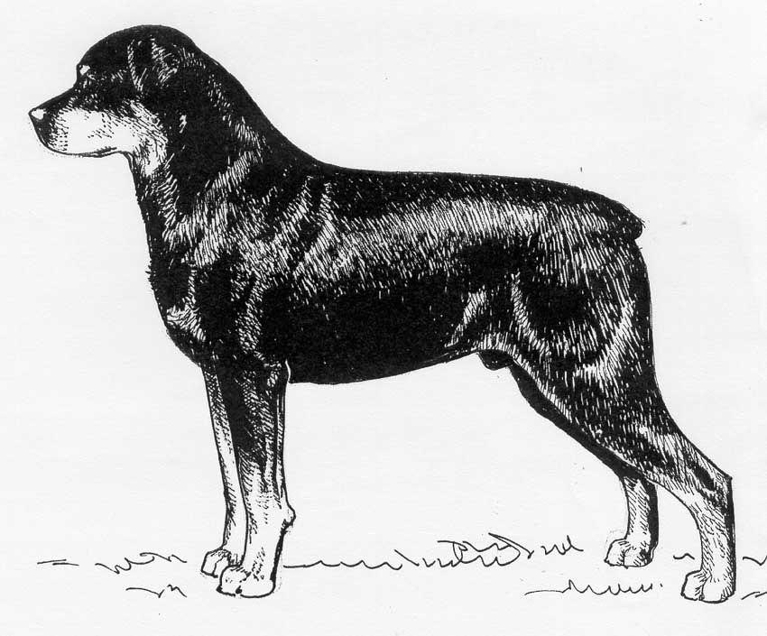 UKC Breed Standards: Rottweiler