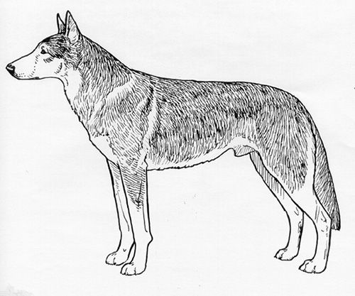 UKC Breed Standards: Saarloosewolfdog