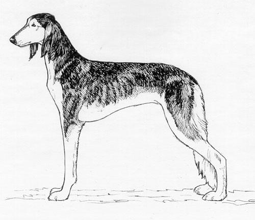 Breed Standards : Saluki | United Kennel Club (UKC)