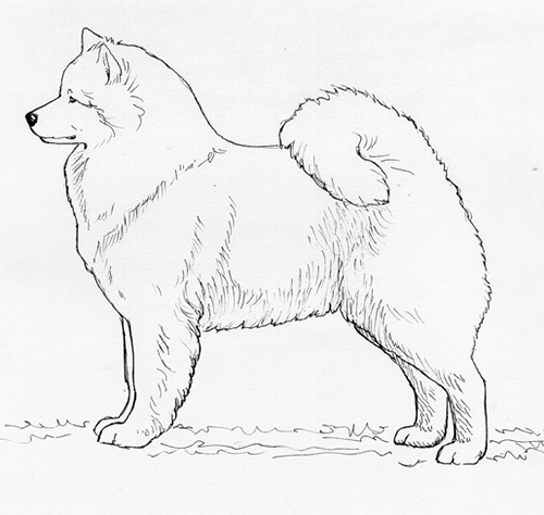 UKC Breed Standards: Samoyed