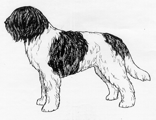 UKC Breed Standards: Schapendoes