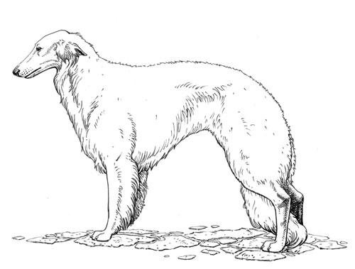 Breed Standards Silken Windhound