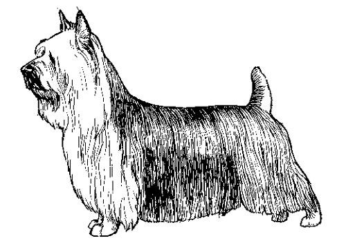 UKC Breed Standards: Silky Terrier