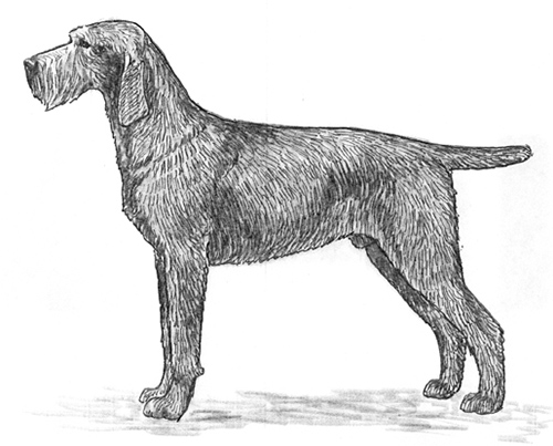 UKC Breed Standards: Slovakian Wire-Haired Pointing Dog